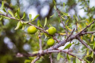 Arganový olej ako náhrada kozmetiky
